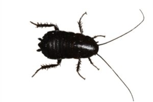 Oriental cockroach control Cleveland, OH