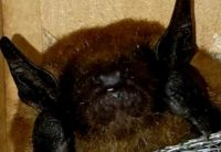 Bat head from Lakewood, Ohio.