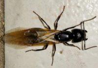 carpenter ant swarmer in Lakewood, Ohio.