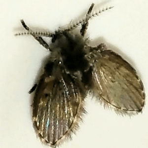 Drain fly control in Cleveland, Ohio.