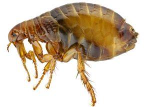 flea microscope picture.