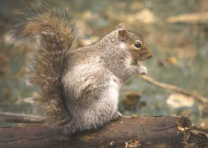 squirrel eating on a log.