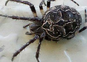 Orb-weaver spider close-up.