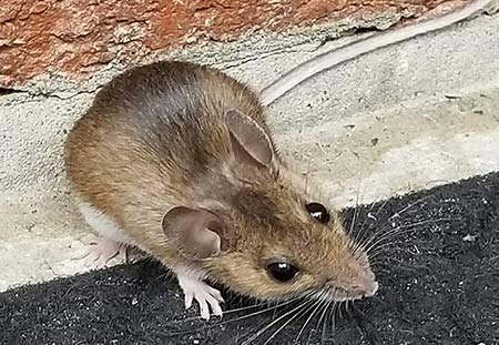 Closeup picture of a field mouse.