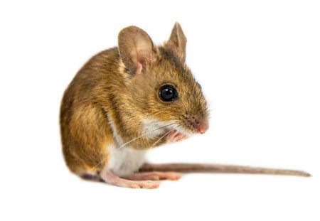 Rodent control of mice.