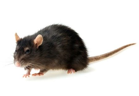 Rodent control of rats