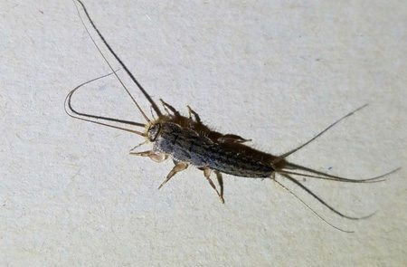Silverfish adult- Lakewood Exterminating
