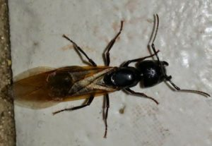 flying carpenter ant in kitchen Lakewood, OH.