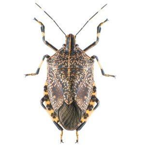 Stink bug- Lakewood Exterminating